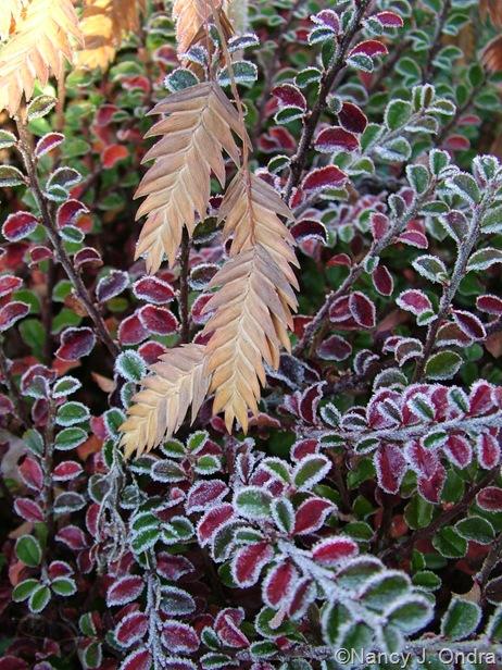 Chasmanthium latifolium with Cotoneaster adpresses 'Little Gem' ('Tom Thumb')