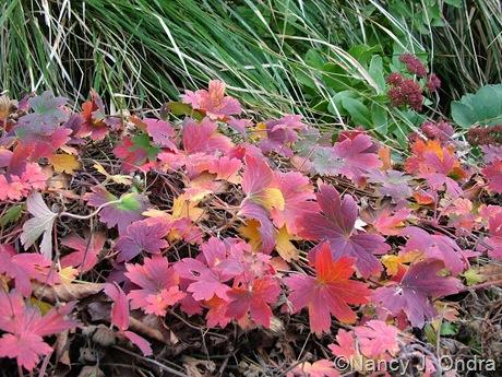 Geranium wlassovianum fall color