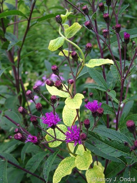 Lonicera japonica 'Aureoreticulata' with Vernonia