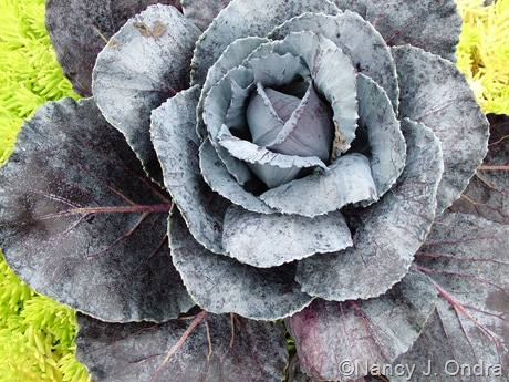 Brassica oleracea 'Ruby Ball' (cabbage)