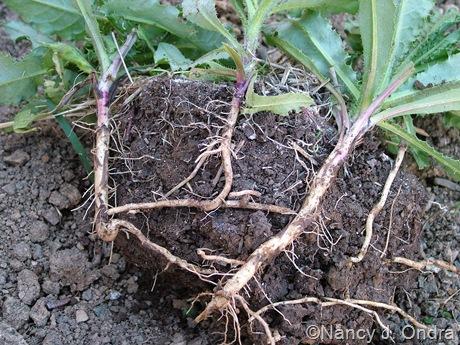Cirsium arvense (Canada thistle)