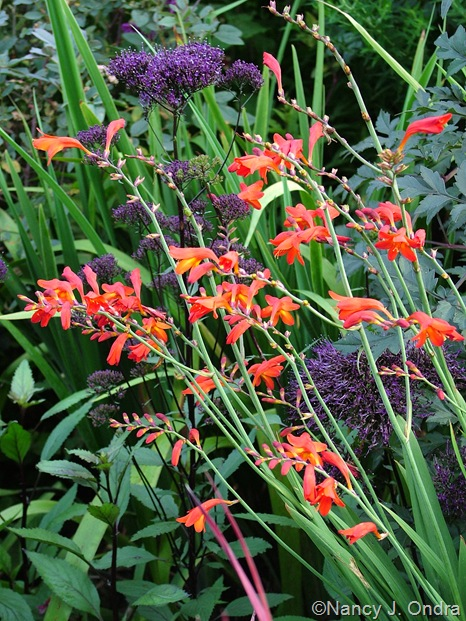 Crocosmia 'Emberglow' and Trachelium caeruleum 'Lake Louise'