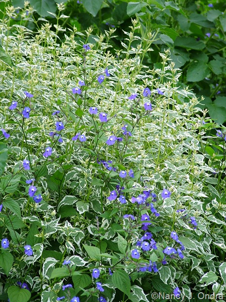 Caryopteris divaricata 'Snow Fairy' with Browallia americana
