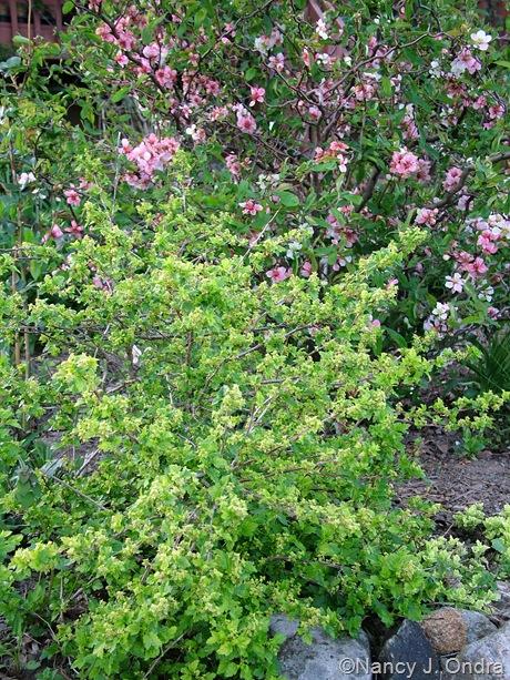Ribes alpinum 'Aureum' with Chaenomeles japonica 'Contorta'