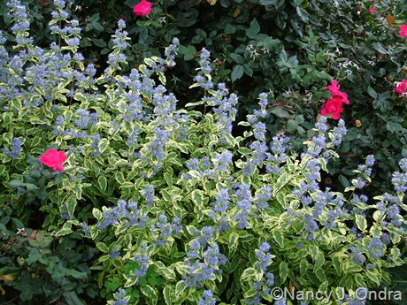Caryopteris x clandonensis Summer Sorbet ('Dyraisey')