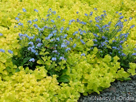 Myosotis sylvatica 'Ultramarine' (woodland forget-me-not) with Lysimachia nummularia 'Aurea' (golden creeping Jenny)