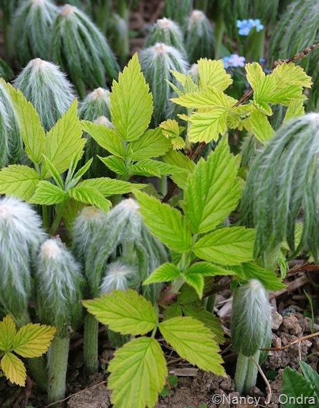 Rubus idaeus 'Aureus' and Syneilesis aconitifolia