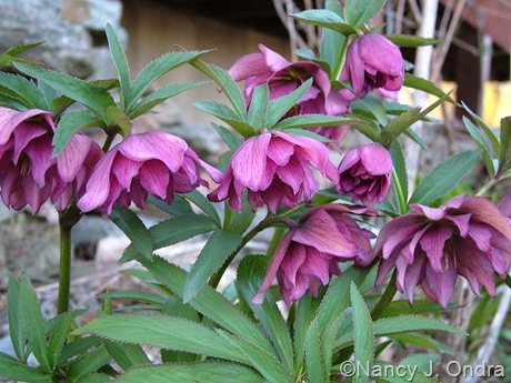 Helleborus x hybridus (double purple-red)