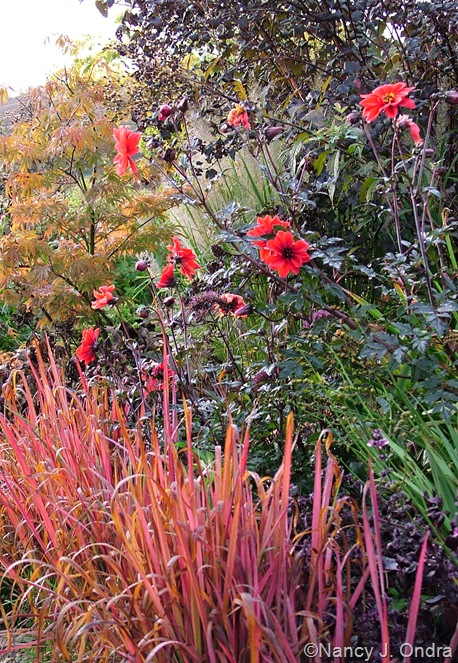 Imperata cylindrica 'Rubra' with Dahlia 'Bishop of Llandaff'