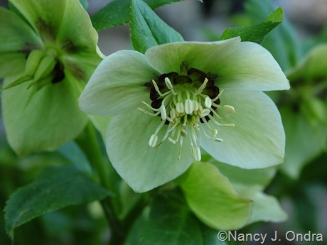Helleborus x hybridus (white with dark nectaries)