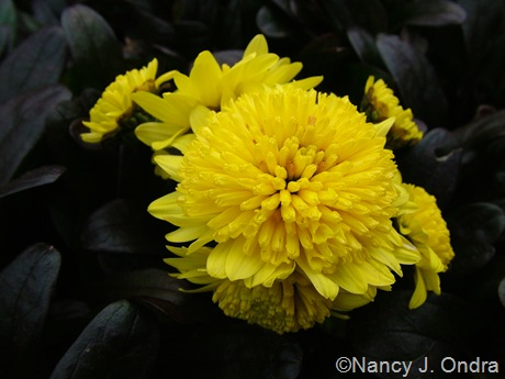 Chrysanthemum 'Ann's Yellow'