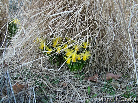 Narcissus 'Tete-a-Tete' under Panicum virgatum 'Rotstrahlbusch'