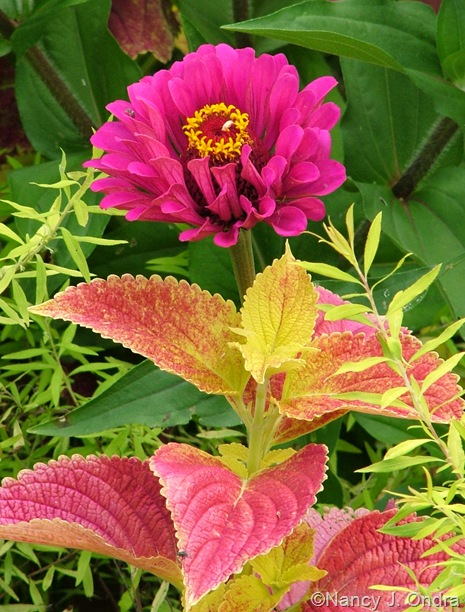 Zinnia 'Purple Prince', Coleus 'Bellingrath Pink', and Spiraea Mellow Yellow ('Ogon')