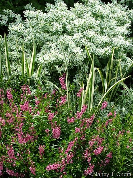 Euphorbia marginata, Iris kaempferi 'Variegata', and Angelonia 'Angelmist Deep Pink'