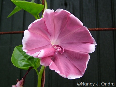 Ipomoea nil (morning glory) 'Chocolate'