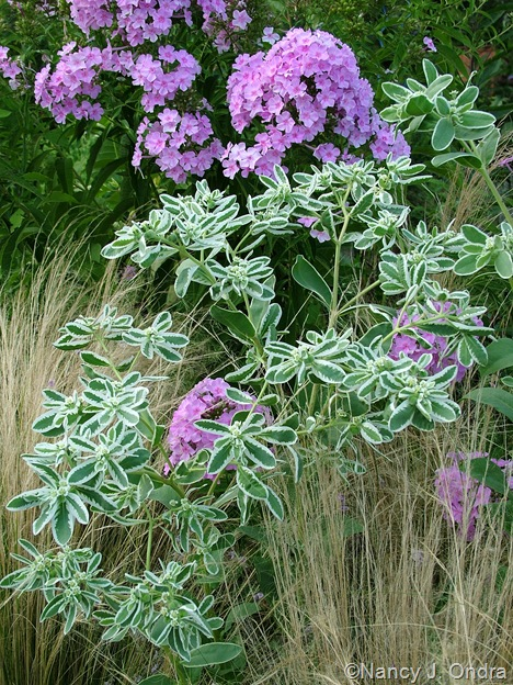 Phlox seedling, Euphorbia marginata, and Stipa tenuissima