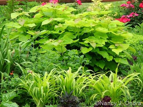 Catalpa bignonioides 'Aurea' and Pennisetum glaucum 'Jade Princess'
