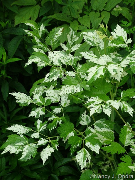 Actaea (Cimicifuga) simplex 'Variegata'