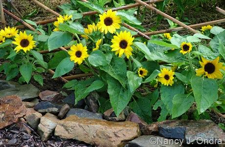 Helianthus annuus 'Sunny Smile'