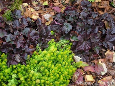 Heuchera 'Obsidian' with Sedum 'Angelina'