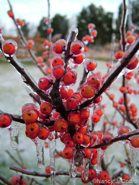 Ilex verticillata 'Winter Red'