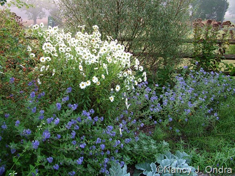 Leucanthemella serotina with Caryopteris, Salvia argentea, and Salix alba var. sericea