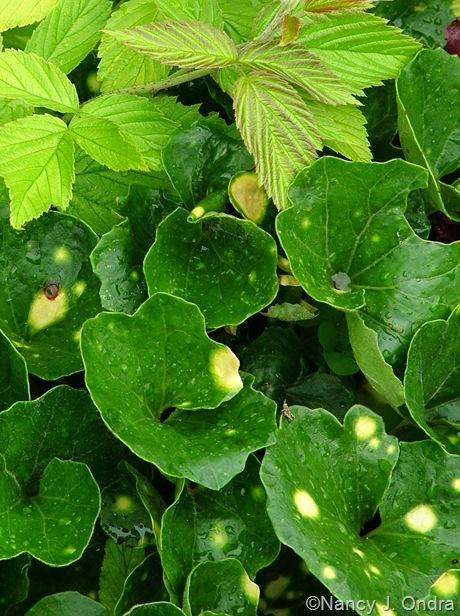 Farfugium japonicum 'Aureomaculata'