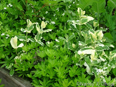 Galium odoratum (sweet woodruff) and Mentha suaveolens 'Variegata' (pineapple mint)