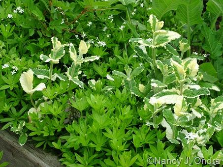 Galium odoratum (sweet woodruff) and Mentha suaveolens 'Variegata' (pineapple mint)