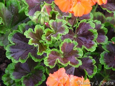 Pelargonium x hortorum 'Black Velvet Scarlet'