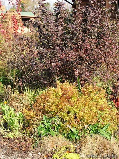 Physocarpus opulifolius Diabolo Spiraea Limemound Echinacea 'Evan Saul' Carex 'Toffee Twist'