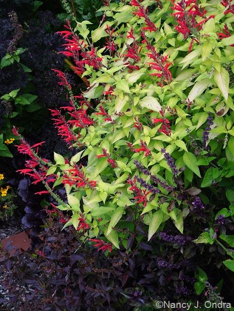 Salvia elegans 'Golden Delicious'