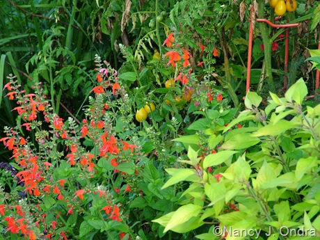 Salvia 'Golden Delicious' and 'Lady in Red' with tomato 'Yellow Pear'