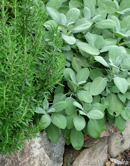 Rosmarinus officinalis (rosemary) and Salvia officinalis (culinary sage)