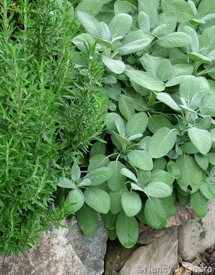 Rosmarinus officinalis (rosemary) and Salvia officinalis (culinary sage)