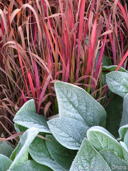 Stachys 'Big Ears' and Imperata cylindrica 'Rubra'