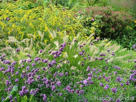 Verbena bonariensis, Pennisetum alopecuroides, Solidago rugosa 'Fireworks', and Symphyotrichum (Aster) 'Alma Potschke'