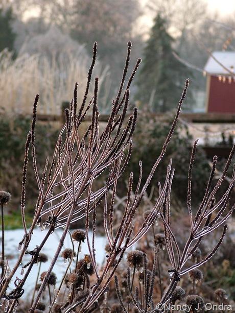 Veronicastrum virginicum and monarda seedheads