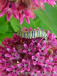 Monarch larva on Asclepias purpurascens