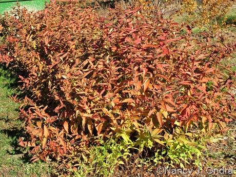Diervilla sessilifolia fall color