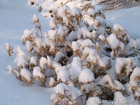 Eryngium leavenworthii in snow