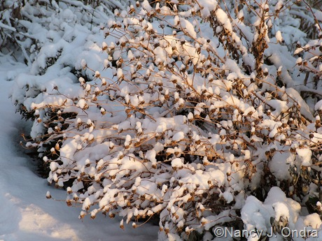 Chrysanthemum 'Sheffield Pink' in snow