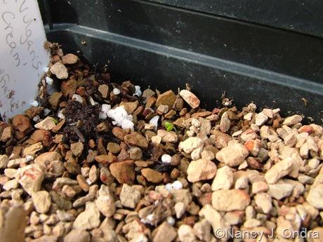 Barbarea vulgaris 'Winter Cream' seedling