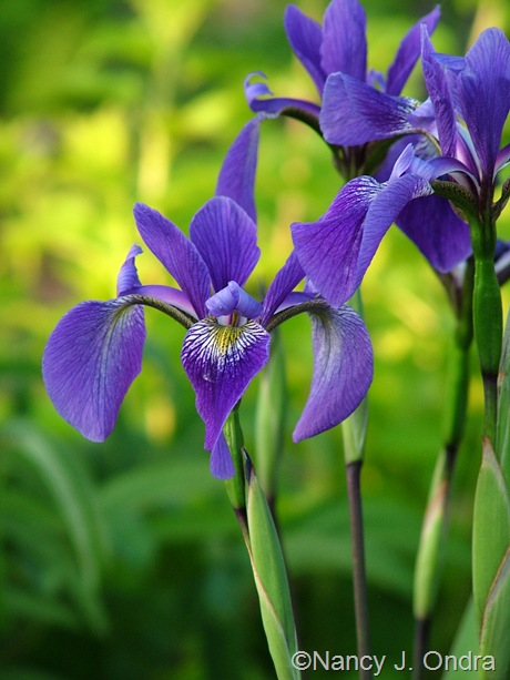 Iris 'Gerald Darby' [©Nancy J. Ondra/Hayefield.com]