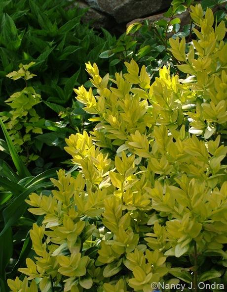 Buxus sempervirens 'Latifolia Maculata'