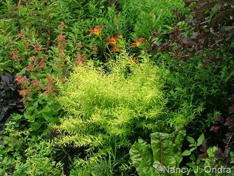 Spiraea thunbergii 'Ogon' (Mellow Yellow)