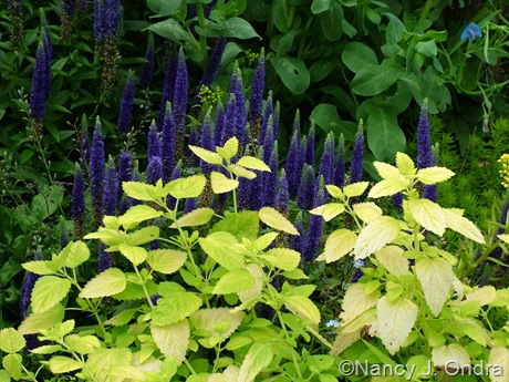 Melissa officinalis 'All Gold' with Veronica