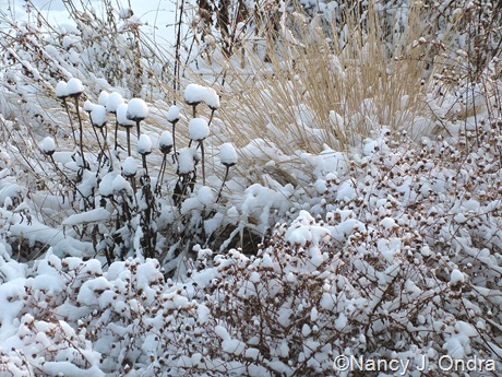 Echinacea purpurea seedheads with Symphyotrichum oblongifolium and Pennisetum alopecuroides in snow