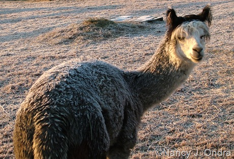Frost on the alpaca