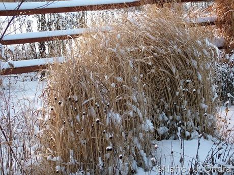 Panicum virgatum 'Rotstrahlbusch' in snow